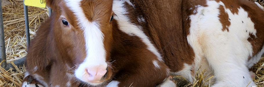 Pourquoi consulter un ostéopathe bovin ?