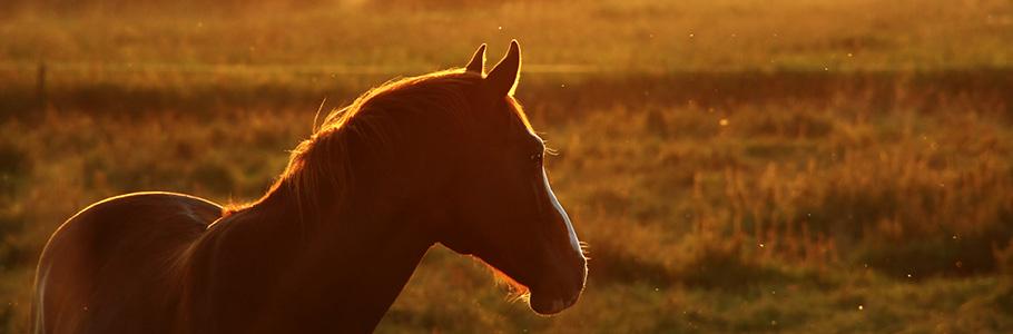 Ostéopathe équin à Lisieux – Aurore Defienne