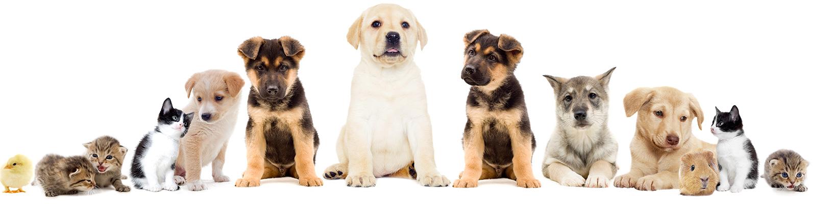 Les symptômes de la maladie chez le chien, chat ou NAC