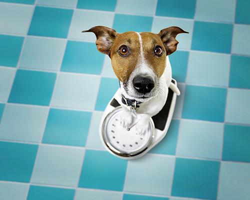La prise de poids du chien