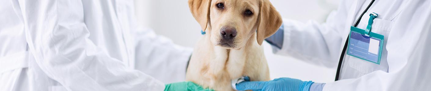 Antiparasitaire : quand traiter son animal contre les tiques et les puces ?