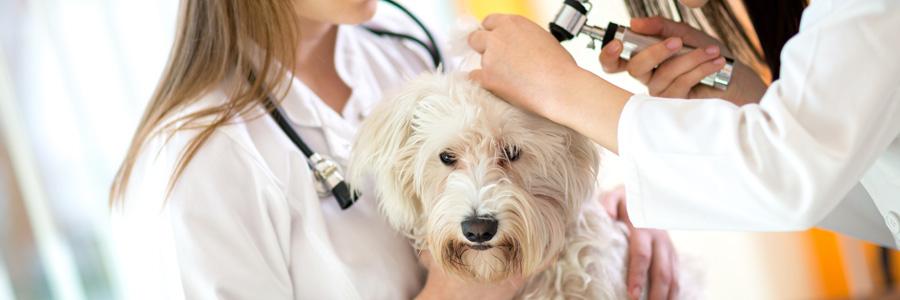 La consultation en médecine vétérinaire curative